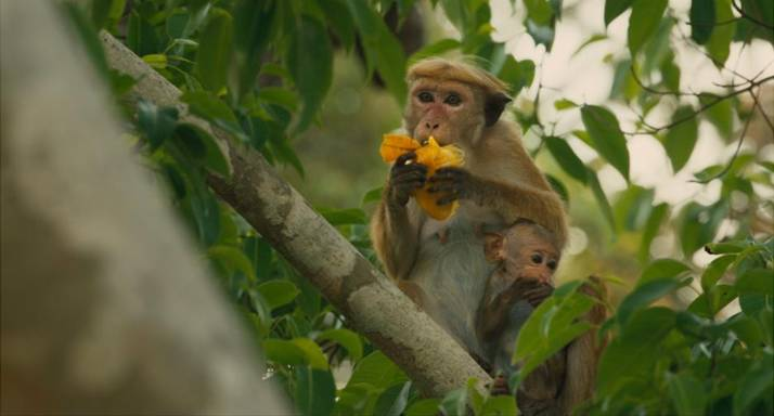 unnamed 110  Disneynature's MONKEY KINGDOM opens 4/17!