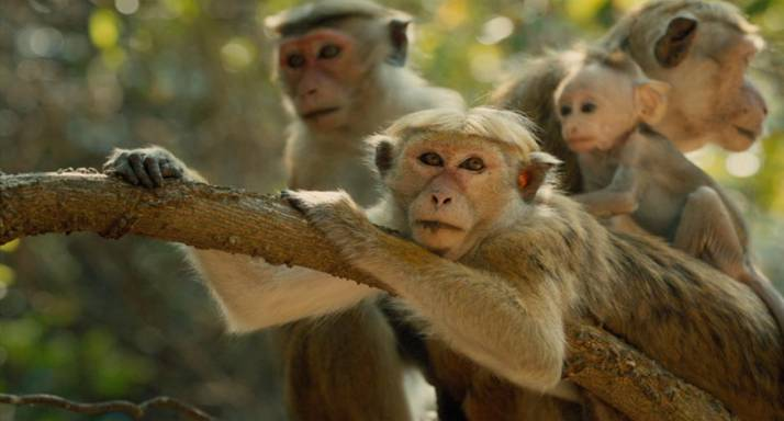 unnamed 24  Disneynature's MONKEY KINGDOM opens 4/17!
